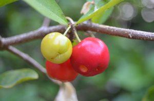 acerola-cherries-300x198-1