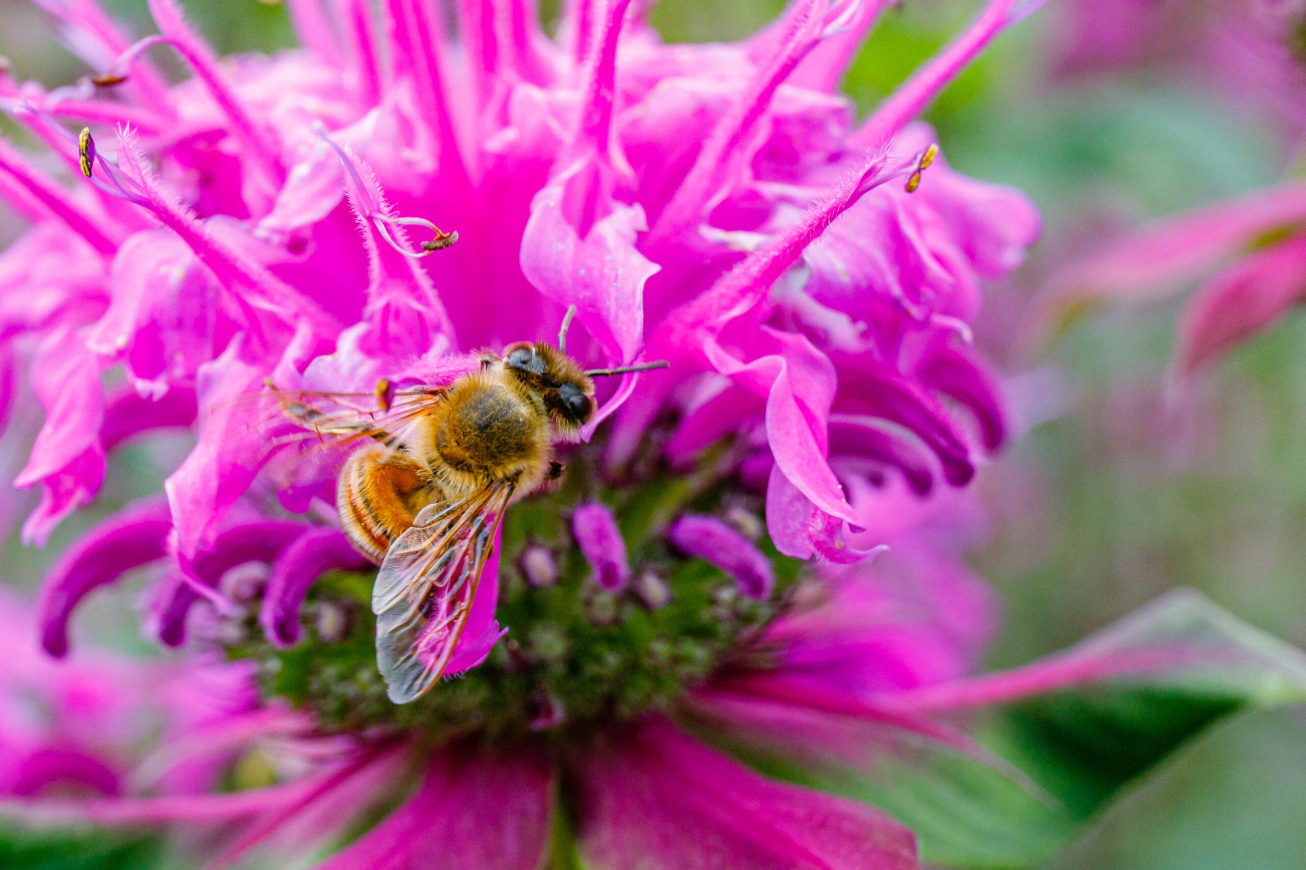 Bee,On,Pink,Flowering,Plant.,Bee,On,Monarda,Fistulosa,Pink